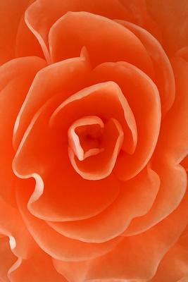 Rose In Coral